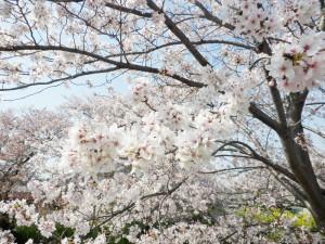 旬味の寿司 まるみ  桜